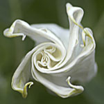 Flower photographs by Virginia Saunders, Columbia, SC. Please click flower for more info.